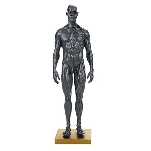 Auntwhale Visuelles Anatomisches Modell Körpermodell Skulptur Muskel Handbuch 30cm Langlebig