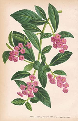 Escallonia Macrantha - Australia South Africa Australien Afrika flower Blume Blumen botanical Botanik Botany