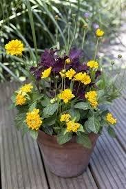 BloomGreen Co. Graines de fleurs: Coreopsis Lanceolata Dwarf Mayfield Flower Seeds Facile à cultiver les semences des plantes pour le bordage (16 Packets) Jardin Graines de plantes