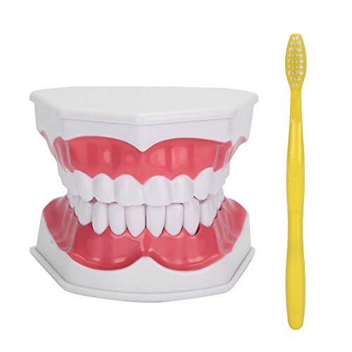 Tandprothese Professioneel Tanden Tandvlees Demonstratie-instrument voor tandarts voor studie voor studie