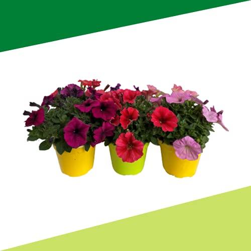 Petunia in varietà (6 PIANTE) - Fiori NON commestibili - Azienda agricola Carmazzi