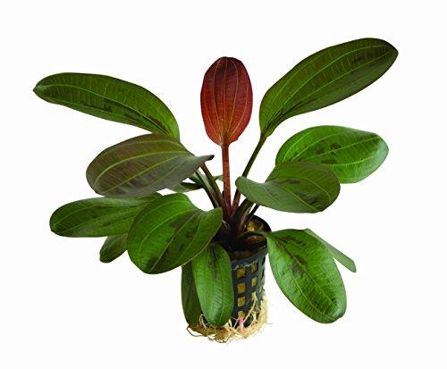 WFW wasserflora Rote Perle Schwertpflanze/Echinodorus hadi red Pearl
