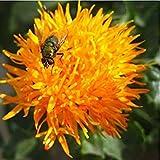 ASTONISH Sgomento SEEDS: Semi Tinctorius cartamo di fiori, confezione originale, 20 semi/pack, semi oleosi vegetali annuali