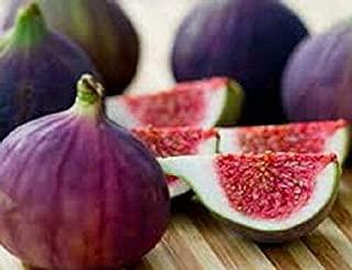Raflesa Plants Fig Live Trees Four Violette de Bordeaux 4 Plant Garden Outdoor Yard