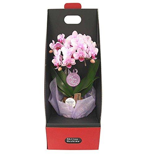 ミニ胡蝶蘭 ギフト 2WAYテーブルボックス入り 2本立 ピンク/ラッピング&メッセージ無料花のプレゼント 生花 鉢植え 開店祝いに 母の日 父の日 敬老の日 おじいちゃん おばあちゃん (ピンク1)