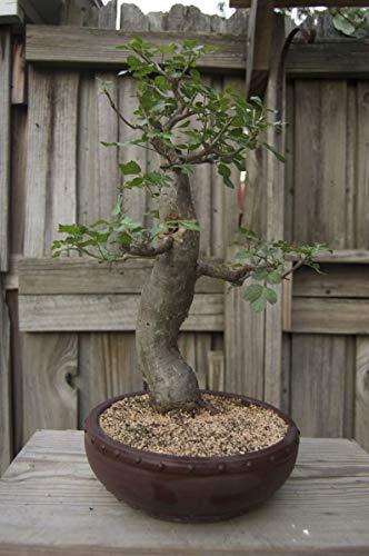 UEYR Semillas Bonsai - 5 Semillas para Cultivar - Muy apreciada - Barcos de Iowa. Las Semillas exóticas Bonsai de Interior para Crecer