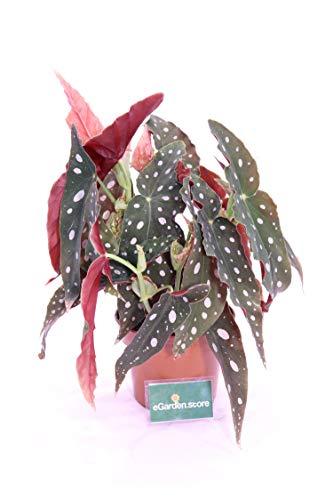Begonia Maculata vaso 14 cm pianta da interno pianta d'appartamento pianta da ufficio pianta ornamentale venduto da eGarden.store