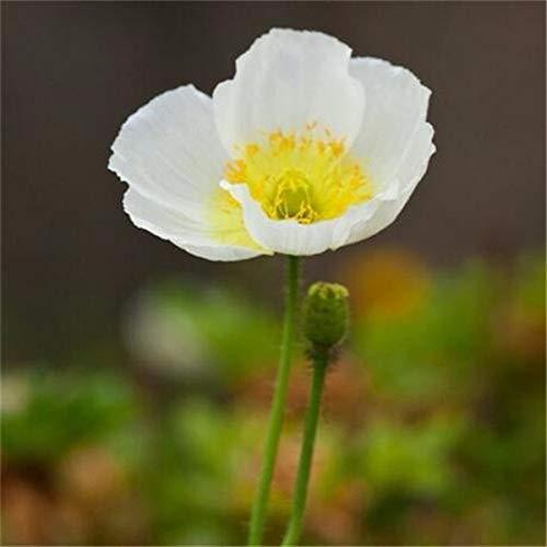 SANHOC 100PCS Bonsai Blau Himalaya-Pflanzen Schöner Perennial Blumenpflanze Attraktiver Schmetterling für Hausgarten Pflanze: 4