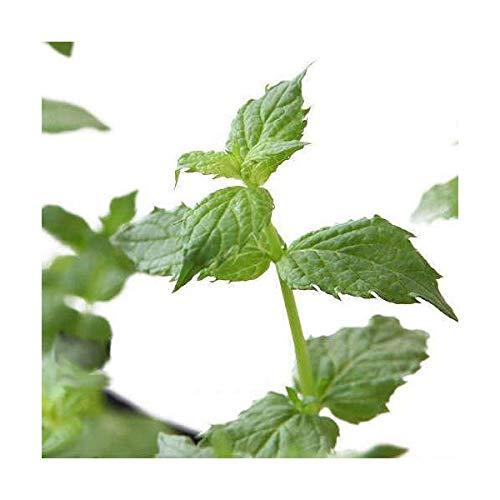 (観葉植物)ハーブ苗 ミント ペパーミント ホワイト 3号(1ポット) 家庭菜園