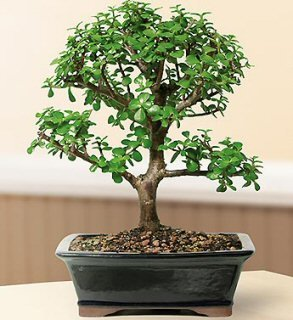 Bonsai Boy's ON THIS TREE Baby Jade Bonsai Tree - Large Portulacaria Afra