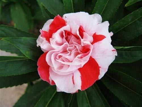 HONIC Mischen von 100 Stück Balsamine ornamentalen Blumen und Pflanzen Vier Jahreszeiten leicht Pflanze Balkon Garten Bepflanzung Bonsai Pflanzen: Lila