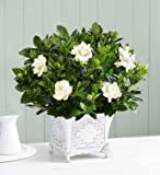 1800Flowers Large Grand Gardenia Plant with Antique-Inspired Planter by 1-800 Flowers