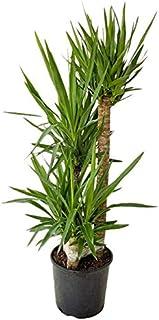 PlantVine Yucca - Large - 8-10 Inch Pot (3 Gallon), Live Indoor Plant