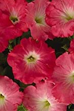 Petunia Easy Wave Rosy Dawn Annual Seeds