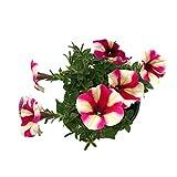 Color Star Mixed Color Nano Morning Glory Seeds Outdoor Nano Fiore Semi di fiori ornamentali 300