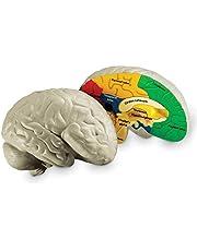 Learning Resources LER1903 piankowy model mózg w przekroju poprzecznym