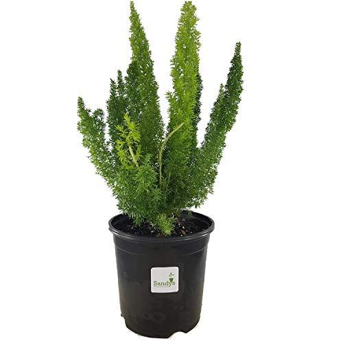 Sandys Nursery Online Fern Foxtail Asparagus Meyeri, Bush Ground Cover, Gallon...