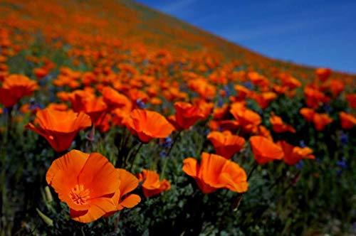 BloomGreen Co. Graines de fleurs: Californie pavot Graines Plantation Jardinerie [jardin Graines Eco Pack] Graines de plantes