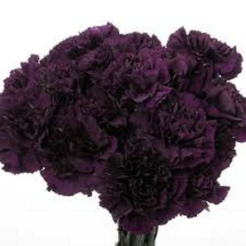 30 graines - Fragrant Carnation King of Blacks Graines vivaces fleurs