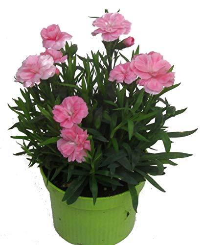 Dianthus caryophyllus rosa- Teneriffa-Nelke Duftpflanze im 11 cm Topf winterharte Staude für Zimmer und Freiland