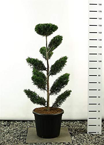 Cupressocyparis leylandii Pon Pon - Lelyland Zypresse - Formschnitt - Formgehölz - Multiplateau - Größenauswahl (125-150 cm - 20 Ltr Topf)