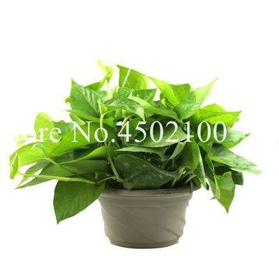 Bloom Green Co. 100 Stück Exotische efeutute Bonsai-Regenbogen-Büro-Schreibtisch-Bonsai Wasserpflanze reinigen Luft absorbieren Schädliche Gase für Wohnzimmer: 12