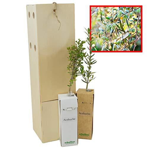 Acebuche - Olivo - Arbolito de pequeño tamaño (2)