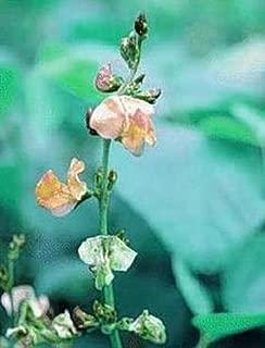 Dolichos Biflorus Annual Seeds