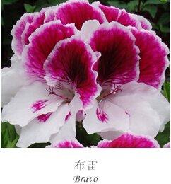 20seeds / lot Géranium frais Graines Graines Pelargonium Hortorum Fleur