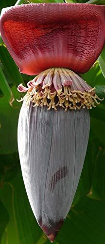 Musa sikkimensis x paradisiaca -seltene neue Bananenart ! -20 Samen-