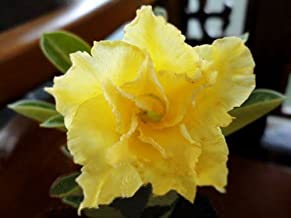20 Fresh Seeds Adenium Obesum Desert Roses Rare www DOUBLE-YELLOW-SUNRISE-2-us