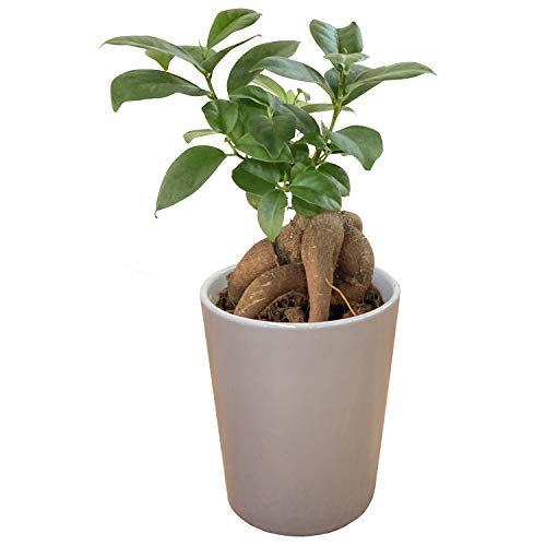 花のギフト社 ガジュマル鉢植え 新生活 多幸の木 ガジュマル がじゅまる ミニ観葉植物 鉢皿付