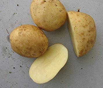 Potseed Samen Keimung: Kartoffelsamen - Yukon Gold - Schöne Goldfarbene Flesh - 6 Tubers