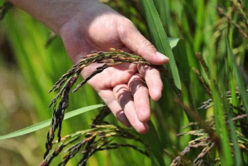 HONIC 200pcs organische Pflanzen, schwarzer Reis, High-Ernährung Reisfelder, wachsende Bonsai Pflanzen
