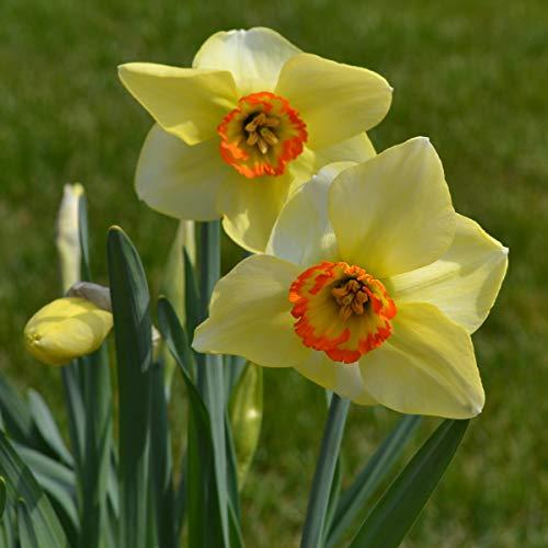 Wühlmausschreck Wühlmausstopp Narzissen La Riante (100 Blumenzwiebeln)