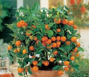 20pcs comestibles Graines Fruit Mandarin Bonsaï, Citrus Bonsai mandarine Graines
