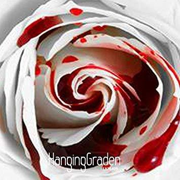 Vistaric Promotion de perte!150 PCS plus rares White Blood Rose Plant Graines de Fleurs Jardin De Fleurs Asaka Rare Graines True Blood Rose, 65WXQ3
