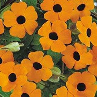 Outsidepride Thunbergia Orange Vine Plant Flower Seed - 100 Seeds