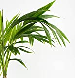Kentia Palm - Live Plant in a 4 Inch Growers Pot - Howea Forsteriana - Beautiful Clean Air Indoor Outdoor Houseplant