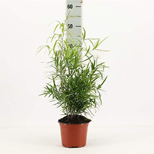 Asparagus falcatus 35 cm Sicheldorn-Spargel Zierspargel