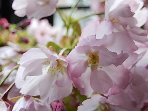 桜盆栽これで自宅で桜を楽しめるさくら盆栽4月中頃に開花します。