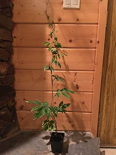 FERRY Bio-Saatgut Nicht nur Pflanzen: 3-4 Feet Guarana Paullina Cupana schnell wachsen e Starkes Koffein