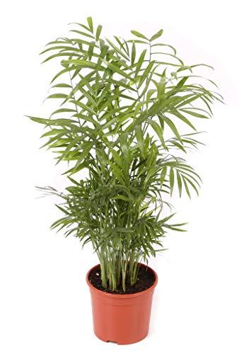 Chamaedorea maceta 17cm. - Altura total aprox. 80cm. - Planta viva - (Envíos sólo a península)