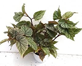 CAPPL Sanjay Nursery Air Purifying Begonia Frostii Plant (Pot Included) with Fertilizer & Plate Free