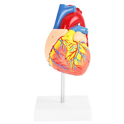 Akozon Herzmodell 1: 1 Anatomisches Menschenleben Größe Herz Modell Medizinische Kardiovaskuläre 2 Teile für Wissenschaft Klassenzimmer, Kardiologie Anatomie Lehrmodell