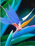 Adolenb Jardin- Rare Graines oiseau du paradis fleur rustique vivace plantes d'intérieur Graines herbes vivaces plantes en pot pour balcon, jardin