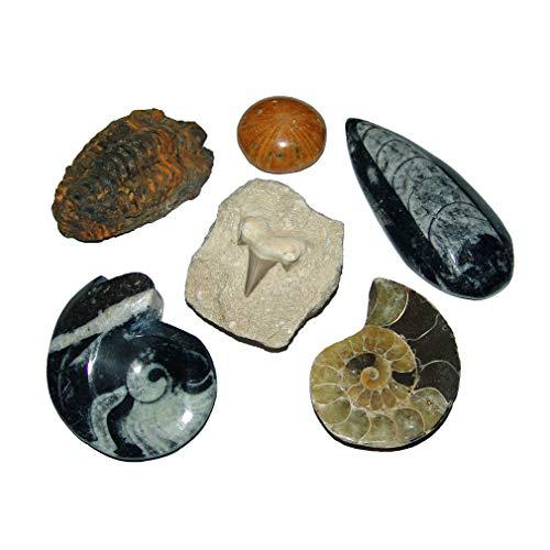 Janni-Shop-Mineralien Fossilien Versteinerungen 5er Sammlung Geschenk: Ammonit - -Seeigel - Trilobit - Goniatit