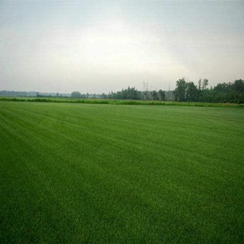 Somarac - Tifblair Our shop OFFers the best service Centipede Grass LB Seed 1 Bombing new work