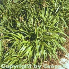 Waldmarbel Tauernpass - Luzula sylvatica
