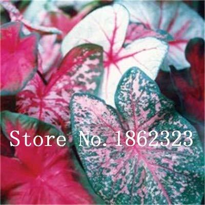 GEOPONICS SEEDS: Verkauf! 100 Stück Caladium Bonsai Caladium Blumen Bonsai Zimmerpflanzen Bonsai Colocasia Anlage für Hausgarten-Topfpflanze: 8